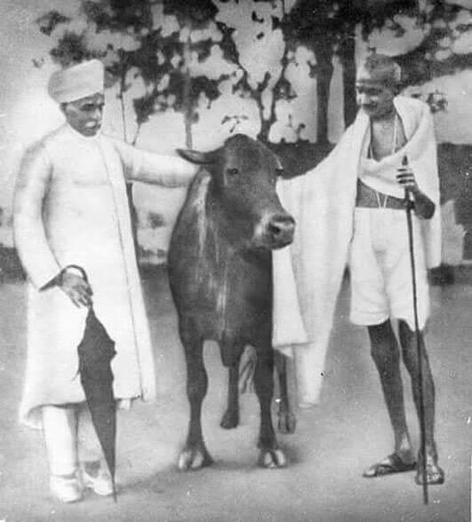 المهاتما غاندي مدافعاً البقرة